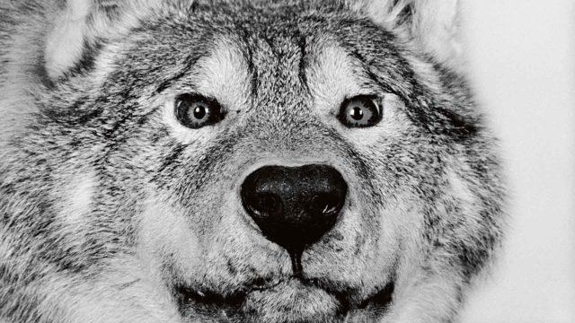 Vuonna 1972 tapettu, niin kutsuttu Hämeen susi pääsi aikanaan kunniapaikalle Forssan luonnontieteellisen museon lasivitriiniin.