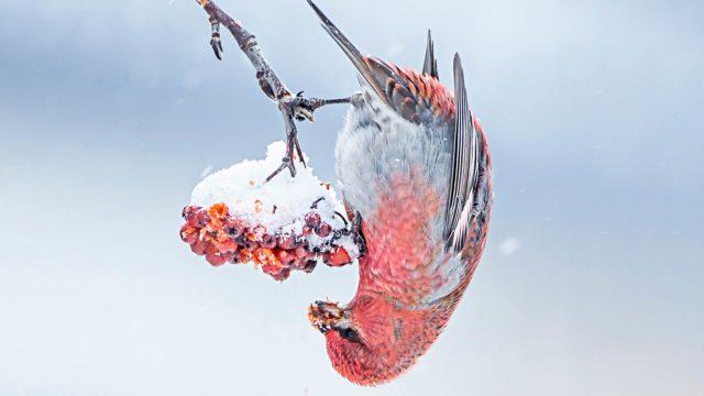 Taviokuurna pesii Skandinavian lisäksi Alaskassa, Kanadassa ja Siperiassa.
