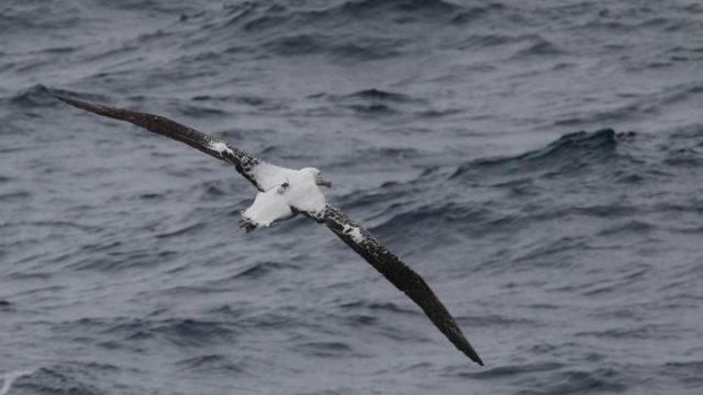 Albatrossit (Diomedeidae) ovat ulappalintujen lahkoon kuuluva suurten, kapeasiipisten merilintujen heimoon.
