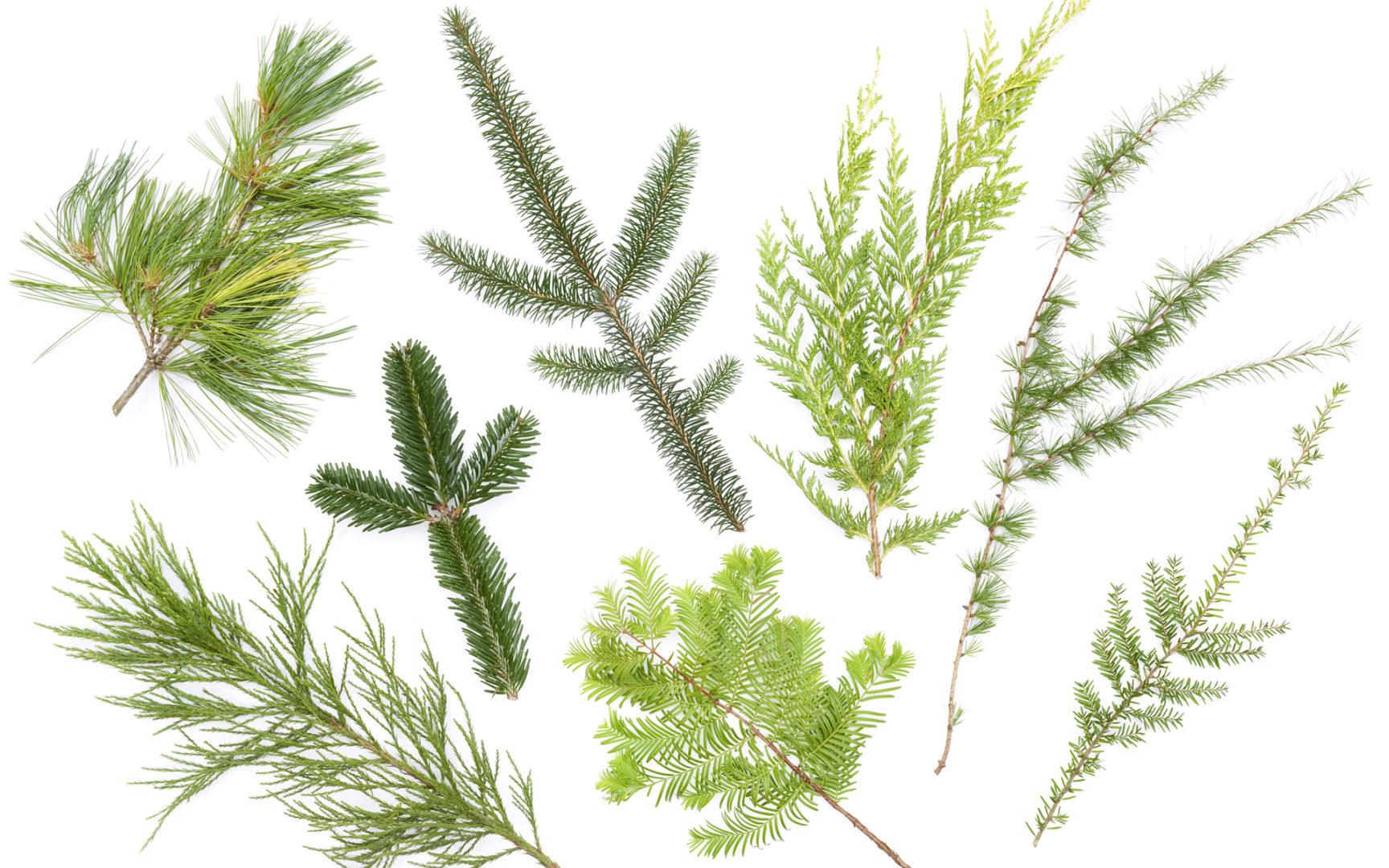 Metsänvartijan toimista erikoisten puulajien kirjo sai alkunsa jo 1930-luvulla.