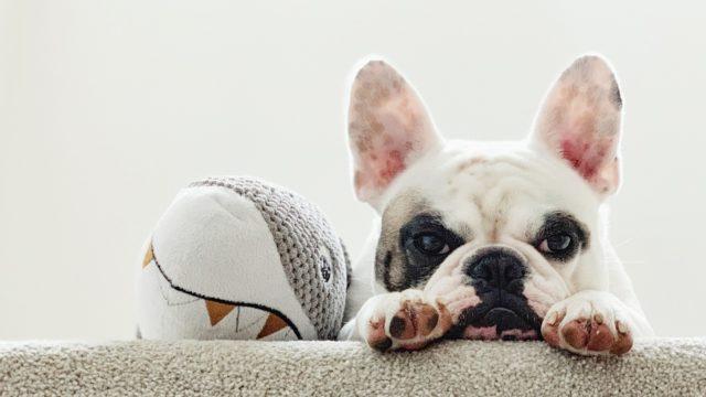 Ranskanbulldogin lyhyt kuono aiheuttaa hengitysvaikeuksia.