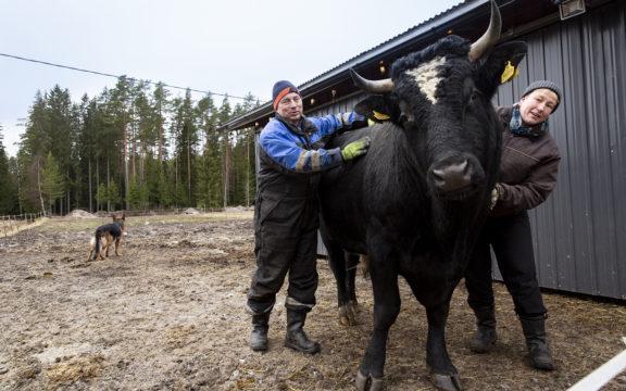 Kuuluisa karkuri, Simo-sonni käveli muina miehinä Niina Mannisen ja Eero Toikan eläinlaumaan ja elämään.