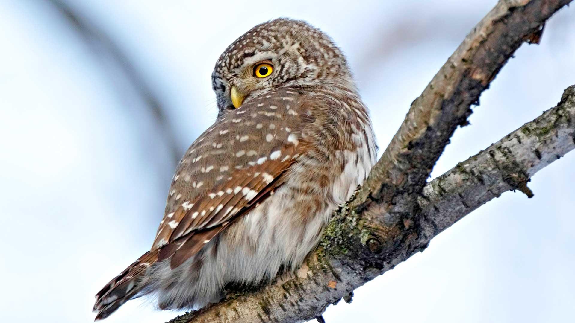 Myyrävuosien hipoessa huippua maassamme pesii arviolta jopa 10000 pöllöparia.