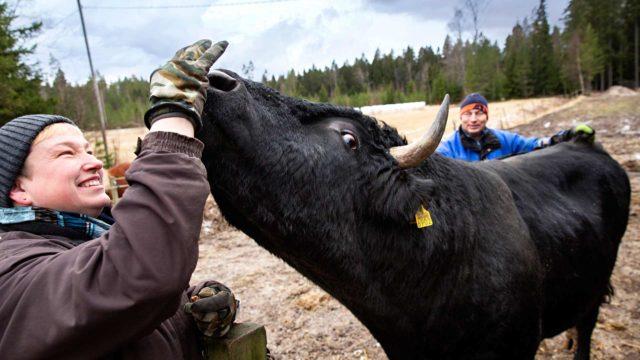 Niina Manninen ja Eero Toikka voittivat laumasielun luottamuksen ja saivat Simosta eläintilalleen uuden jäsenen.