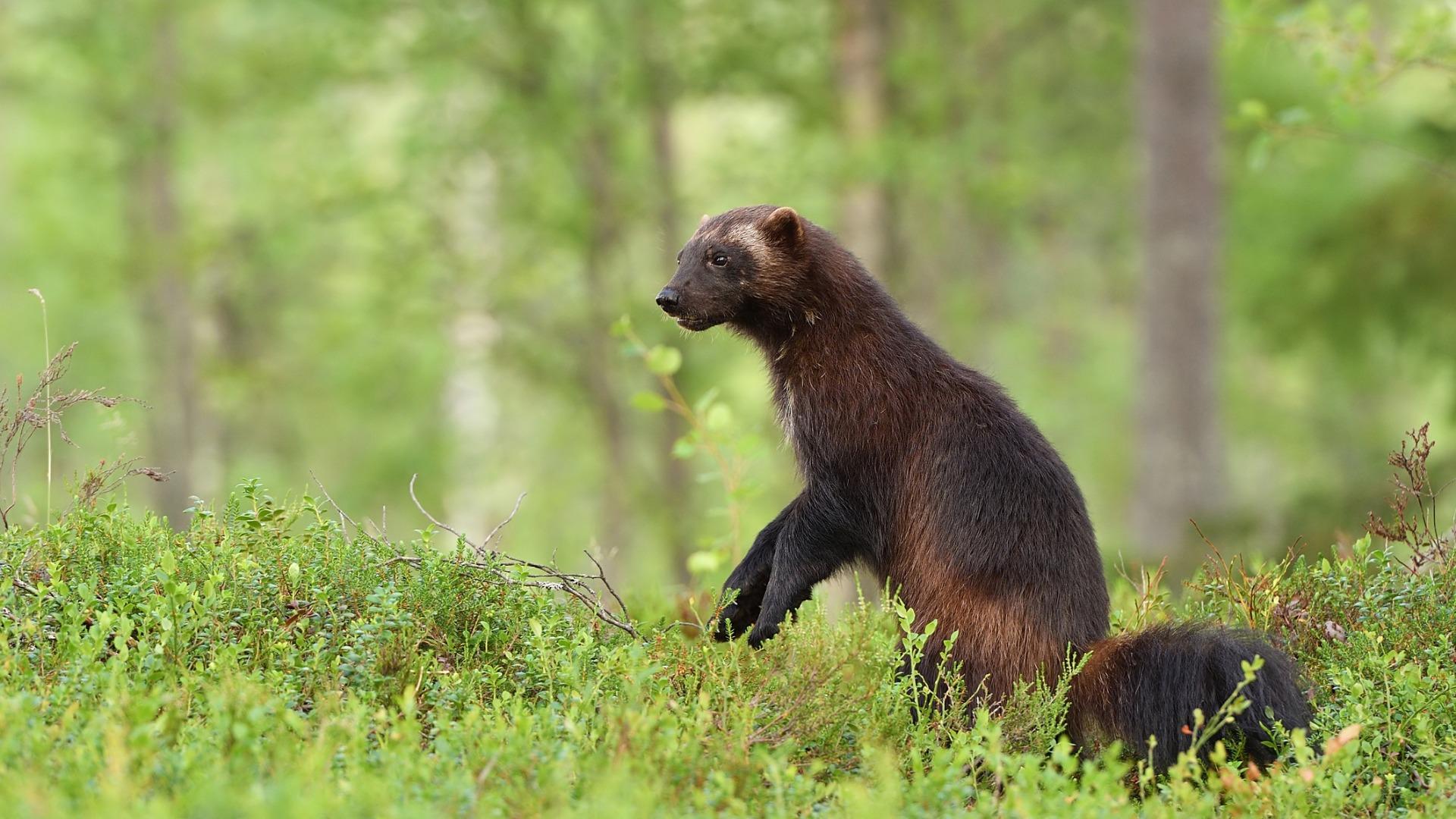 Vaikka ahma on muuten elinvoimainen laji, Suomessa se on erittäin uhanalainen.