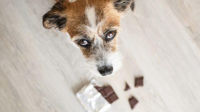 Suklaa on koiralle myrkyllistä. Miksi suklaa kuitenkin houkuttelee?