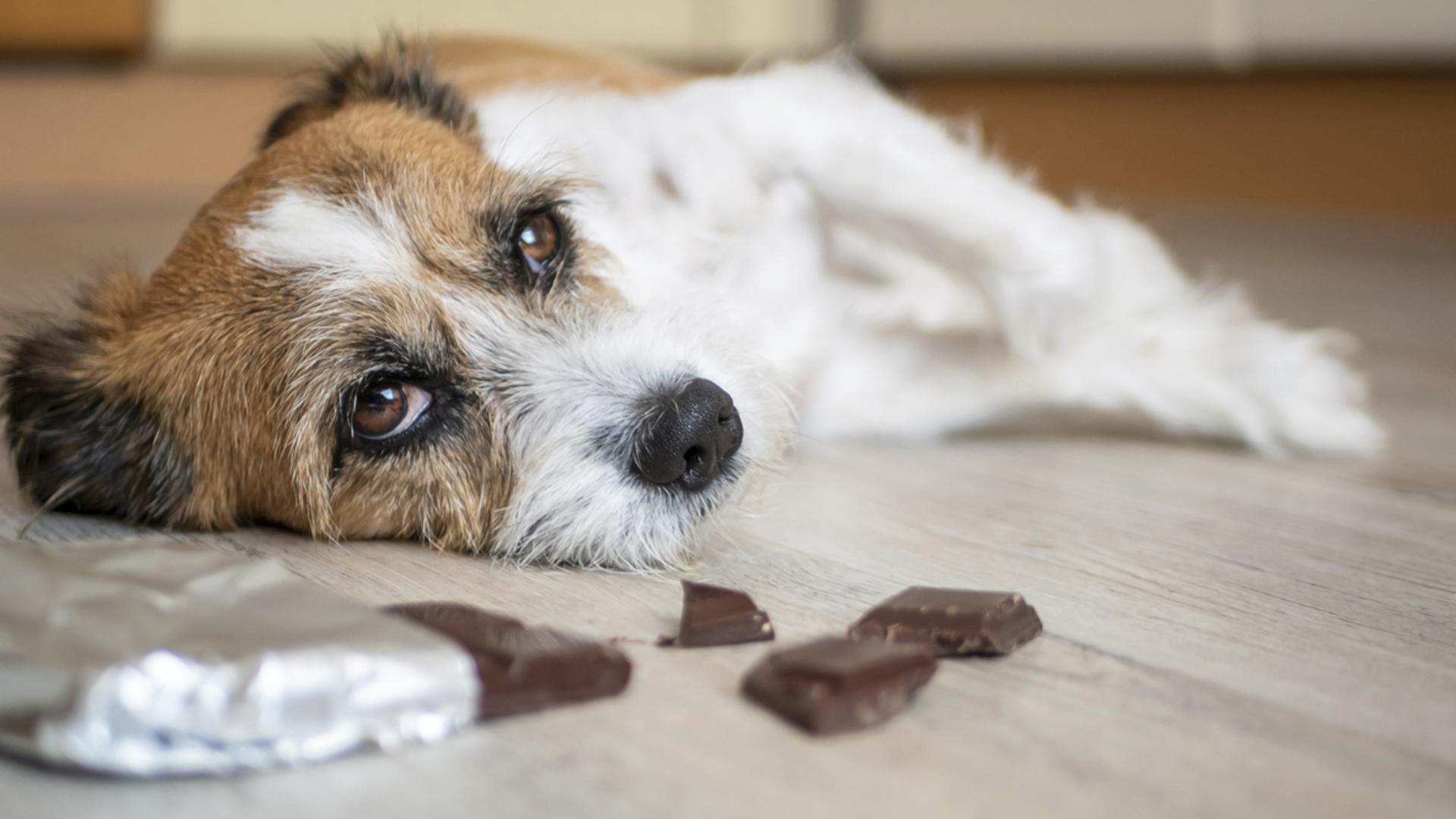 Koira Syönyt Suklaata