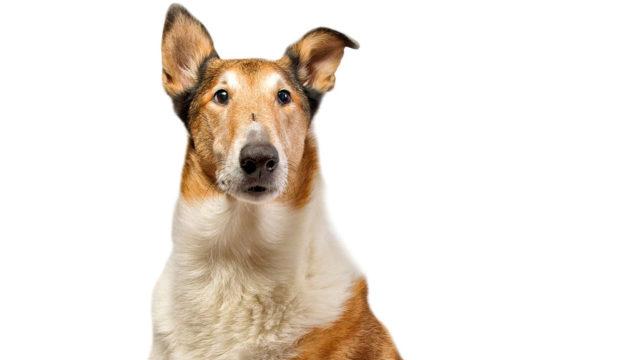 Tärkein tekijä koiran pelokkuuden syntymisessä oli varhaisissa kokemuksissa.