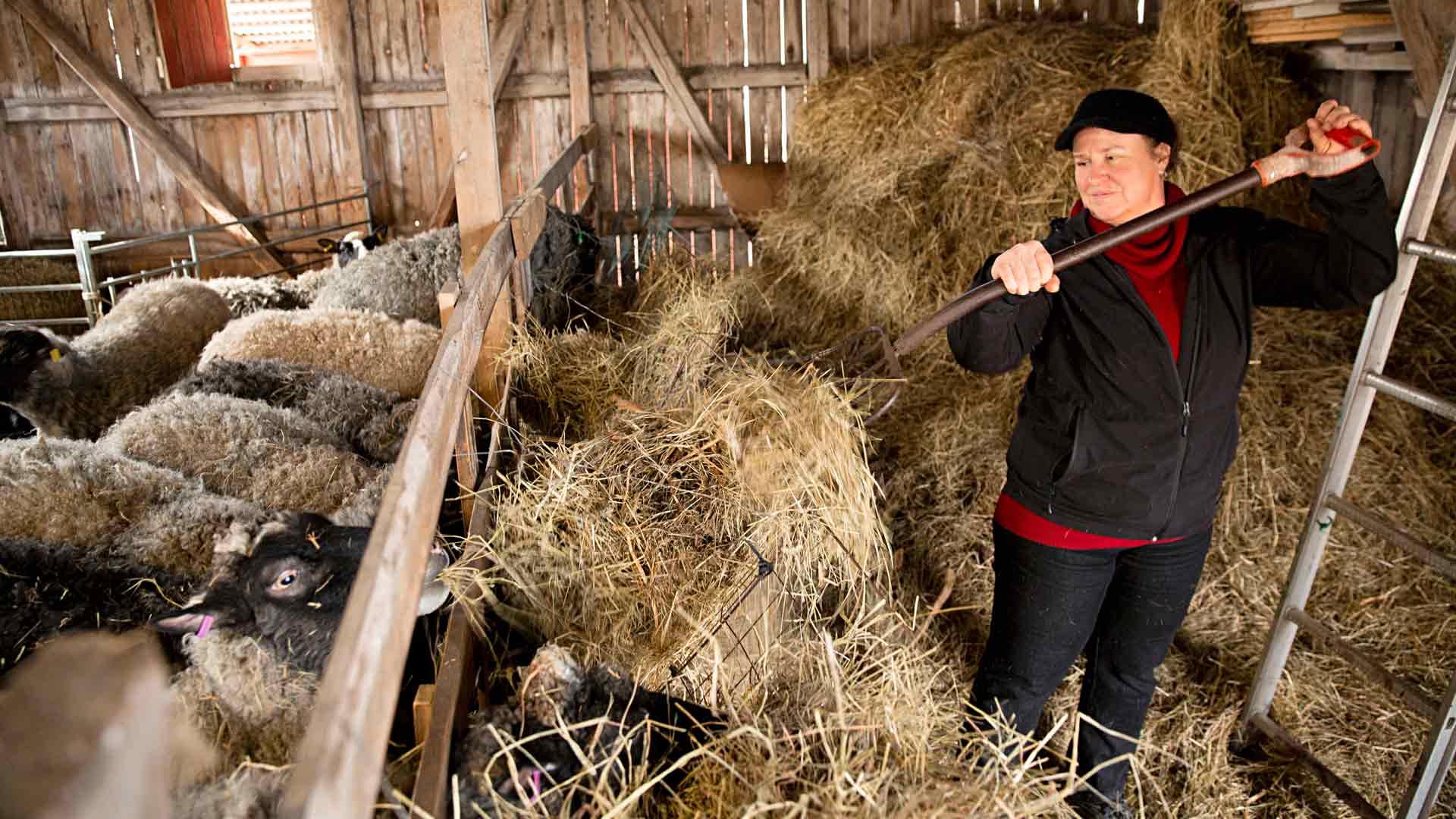 """Kirsi Kujansuu on pyörittänyt lammastilaa viisi vuotta. """"Vaikka tämä on ollut aikamoista rumbaa, nautin työn monipuolisuudesta. Teen kaikkea talouslaskelmista traktorin korjaukseen."""""""