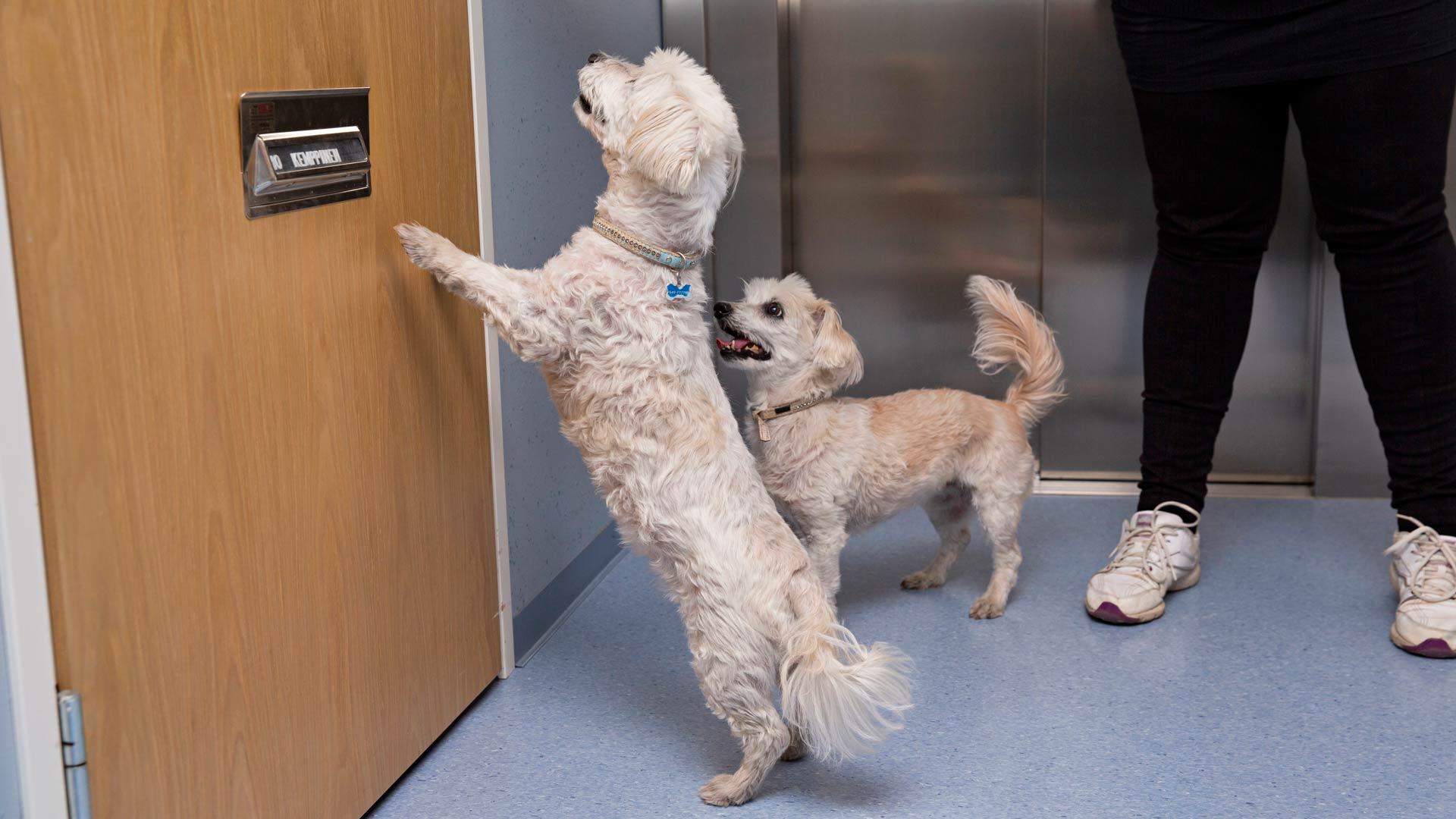 Karanteeni ei koske koiria. Kun Pirjo Kemppinen päästää koirat äitinsä rappukäytävässä irti, ne osaavat juosta oikealle ovelle odottamaan.