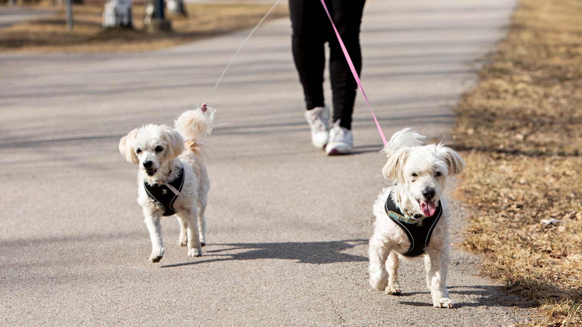 Pirjo Kemppisen bichon frisé -rotuiset koirat Mandi ja Miksu lähtevät aina mielellään tervehtimään Kemppisen äitiä.