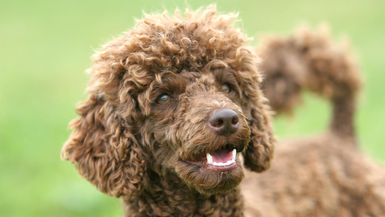 Lehtitietojen mukaan Estellen koiranpentu on puudeli. Koiran väri ei ole tiedossa.