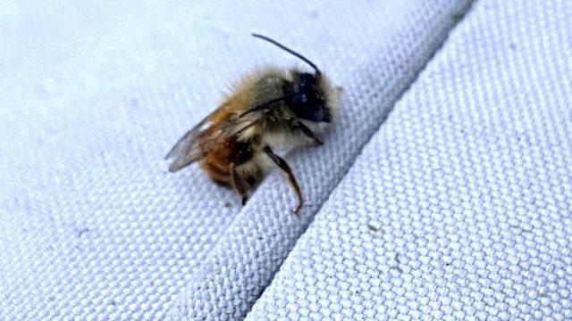 Rusomuurarimehiläisen tunnistaa punertavasta karvoituksesta ja naaraan pään alaosassa olevista sarvimaisista ulokkeista.