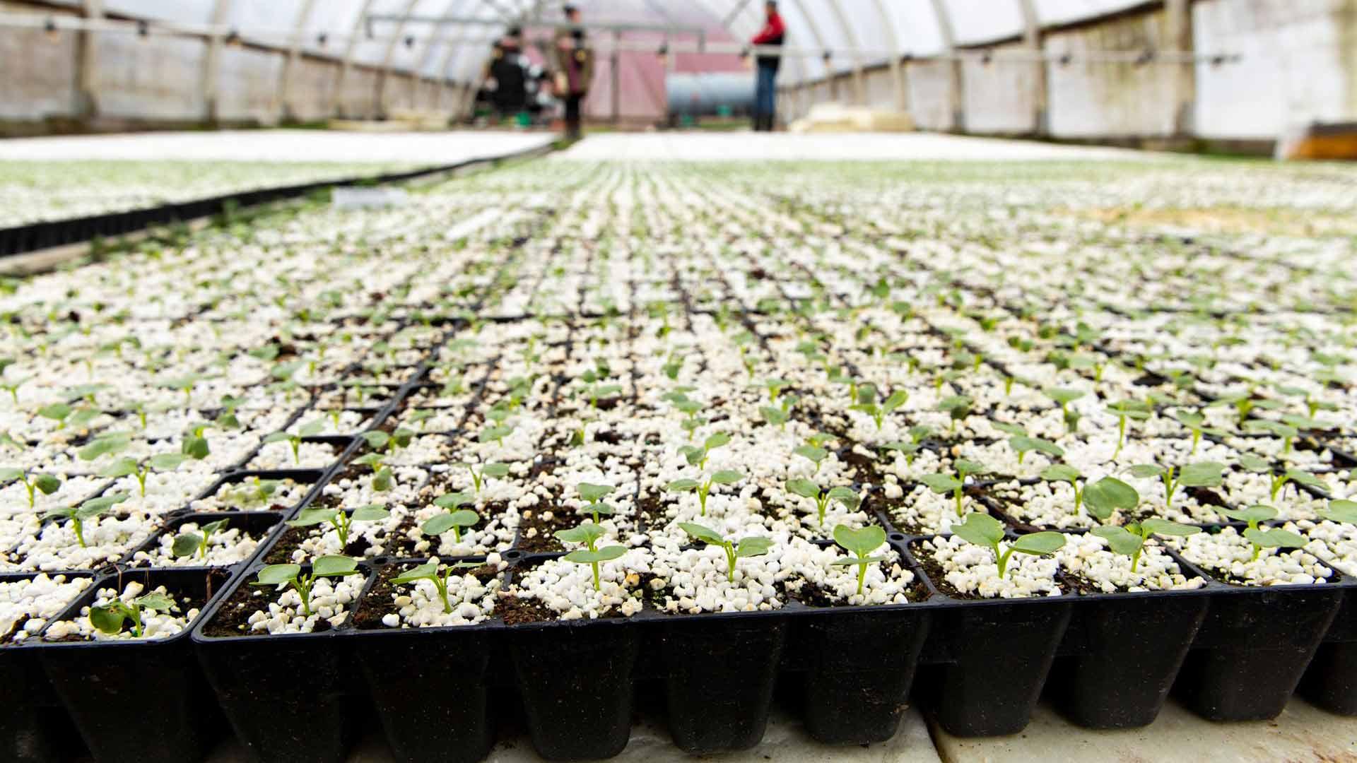 Kallelan tilan kasveista osa esikasvatetaan kasvihuoneessa ennen pellolle istutusta.