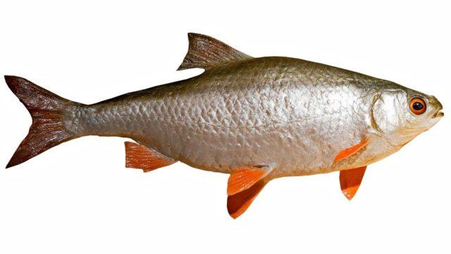 Mädän kalan haju