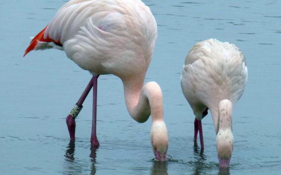 Flamingot olivat tutkijoiden seurannassa viisi vuotta.