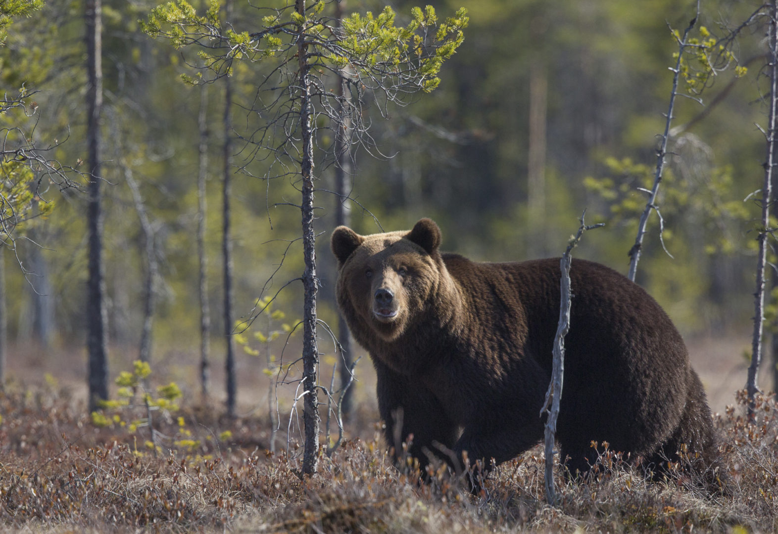 Suomessa arvioidaan olevan nyt 2300-2500 karhua.