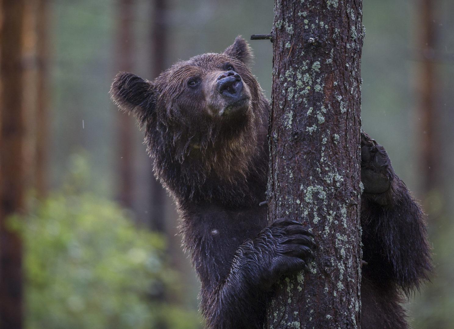 Karhuja saapuu Itä-Suomen Venäjältä, jossa karhukannat ovat hyvin vahvoja.
