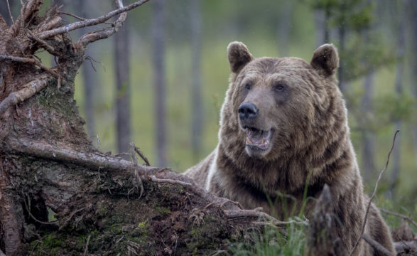 Karhujen määrä Suomessa kasvaa. Yksistään Pohjois-Karjalassa arvioidaan olevan yli 600 karhua.