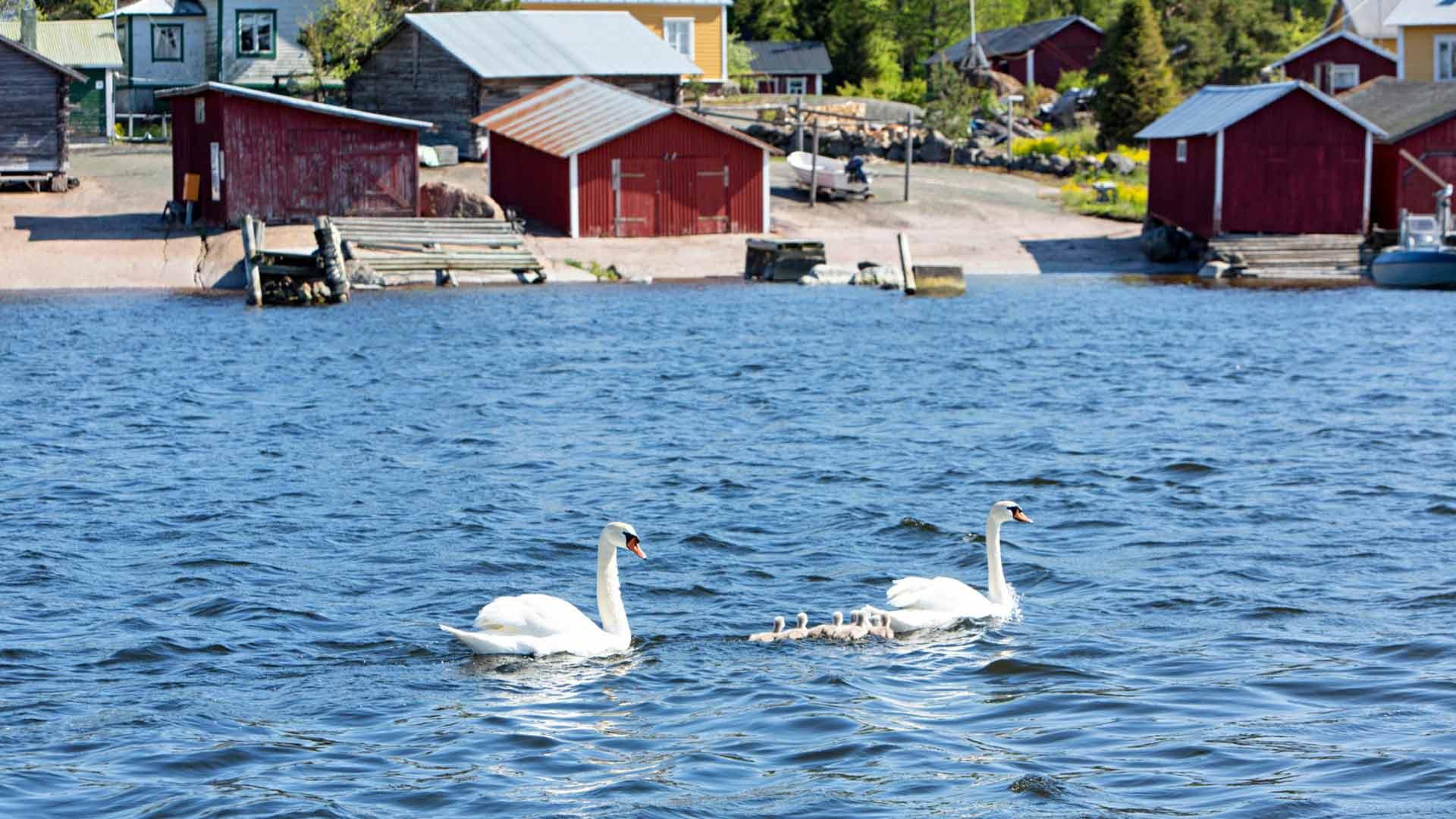Joutsenpariskunta poikasineen tervehtii Tammion saareen rantautujaa.