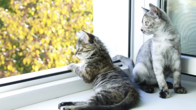 Kissan näkö on erikoistunut havaitsemaan liikettä. Kissan aktivointi onnistuukin muun muassa tarjoamalla niille mahdollisuus katsella ikkunasta tai ulkoilla tarhassa.