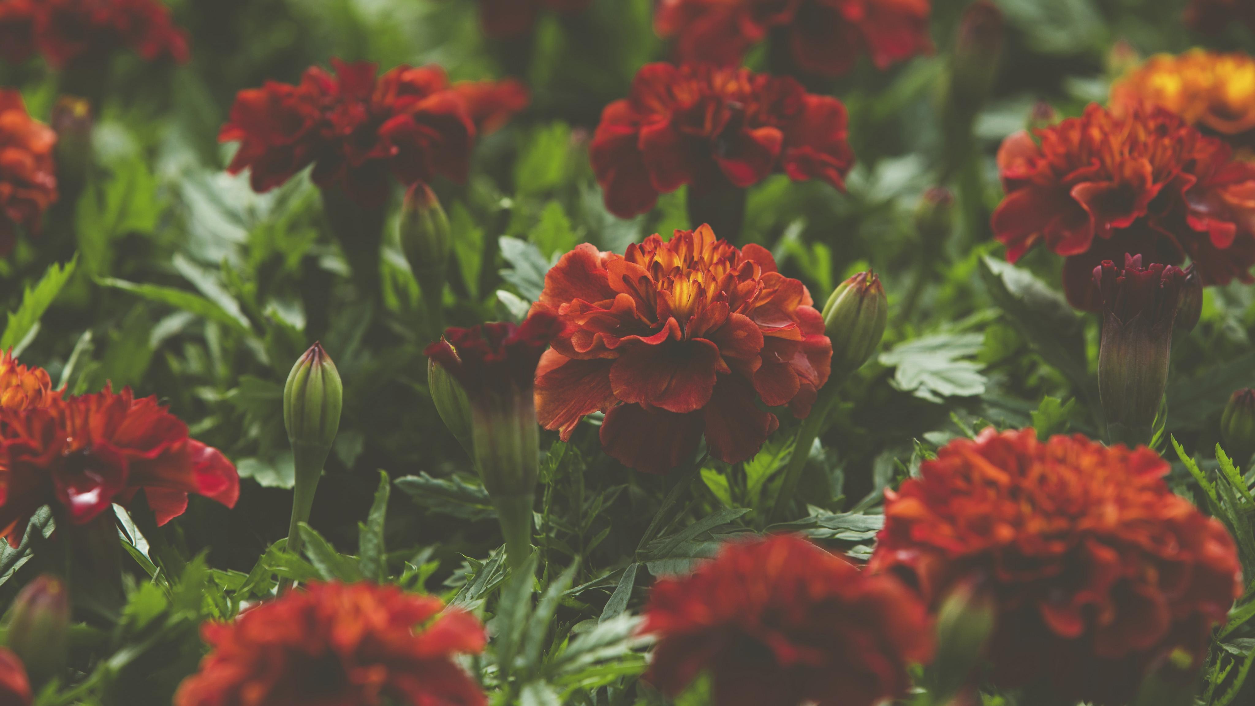 Samettikukka on perinteinen puutarhakasvi, jonka värit vaihtelevat keltaisen oranssista ruskeanpunaiseen ja kirjavaan.