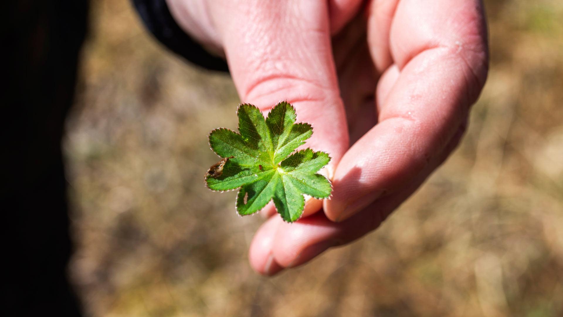Poimulehti on yksi toukokuussa poimittavista luonnonyrteistä, joka soveltuu myös salaattiainekseksi.