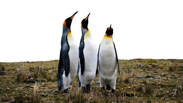 Kuningaspingviinien yhdyskunnat tuottavat valtavia määriä dityppioksidia.