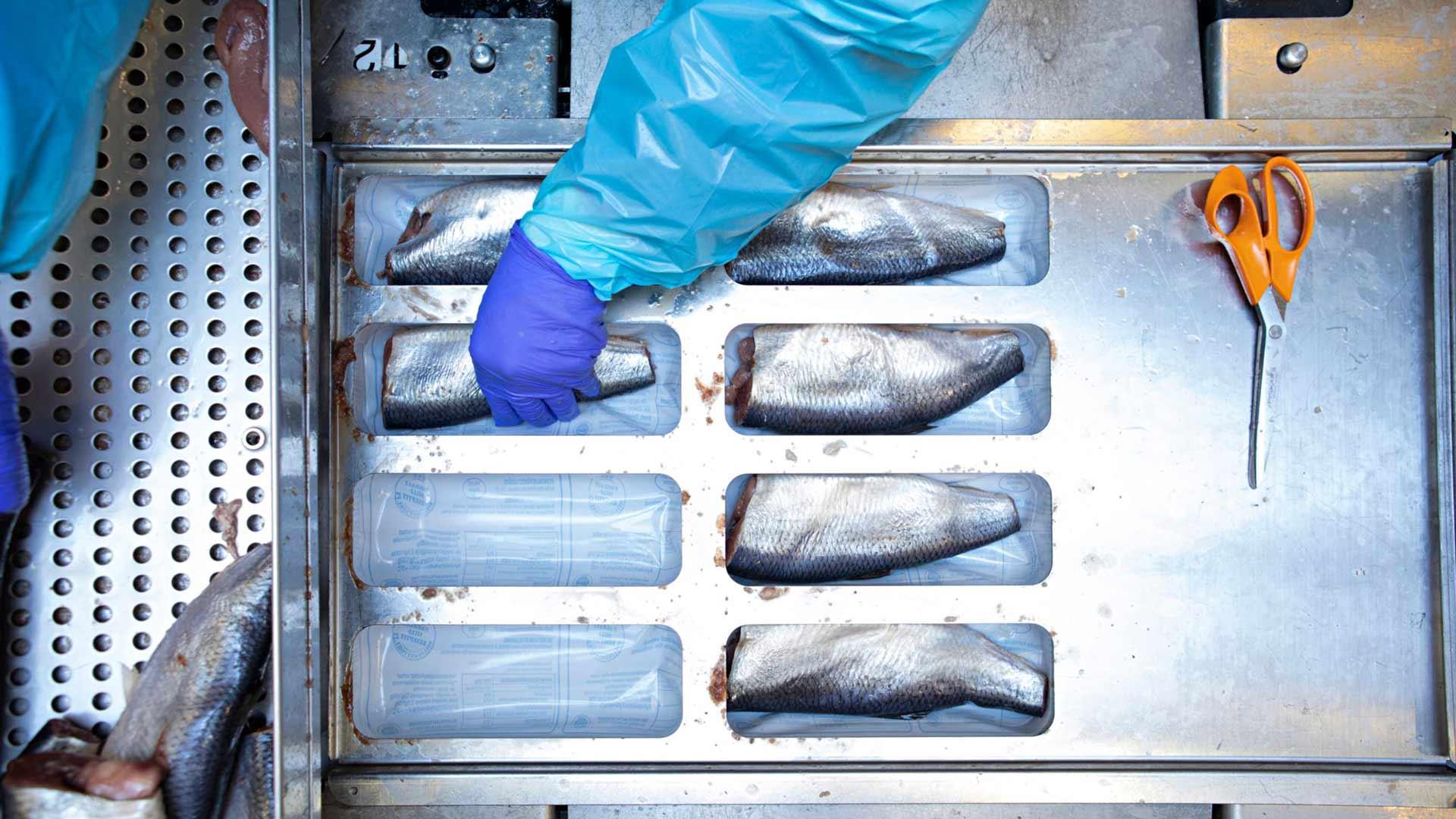 Vakuumilinjalla pakataan kokosilliä. Kone tiivistää muovin kalan ympärille, punnitsee paketin ja hinnoittelee sen. Työntekijä tarkistaa huolellisesti jokaisen kalan.
