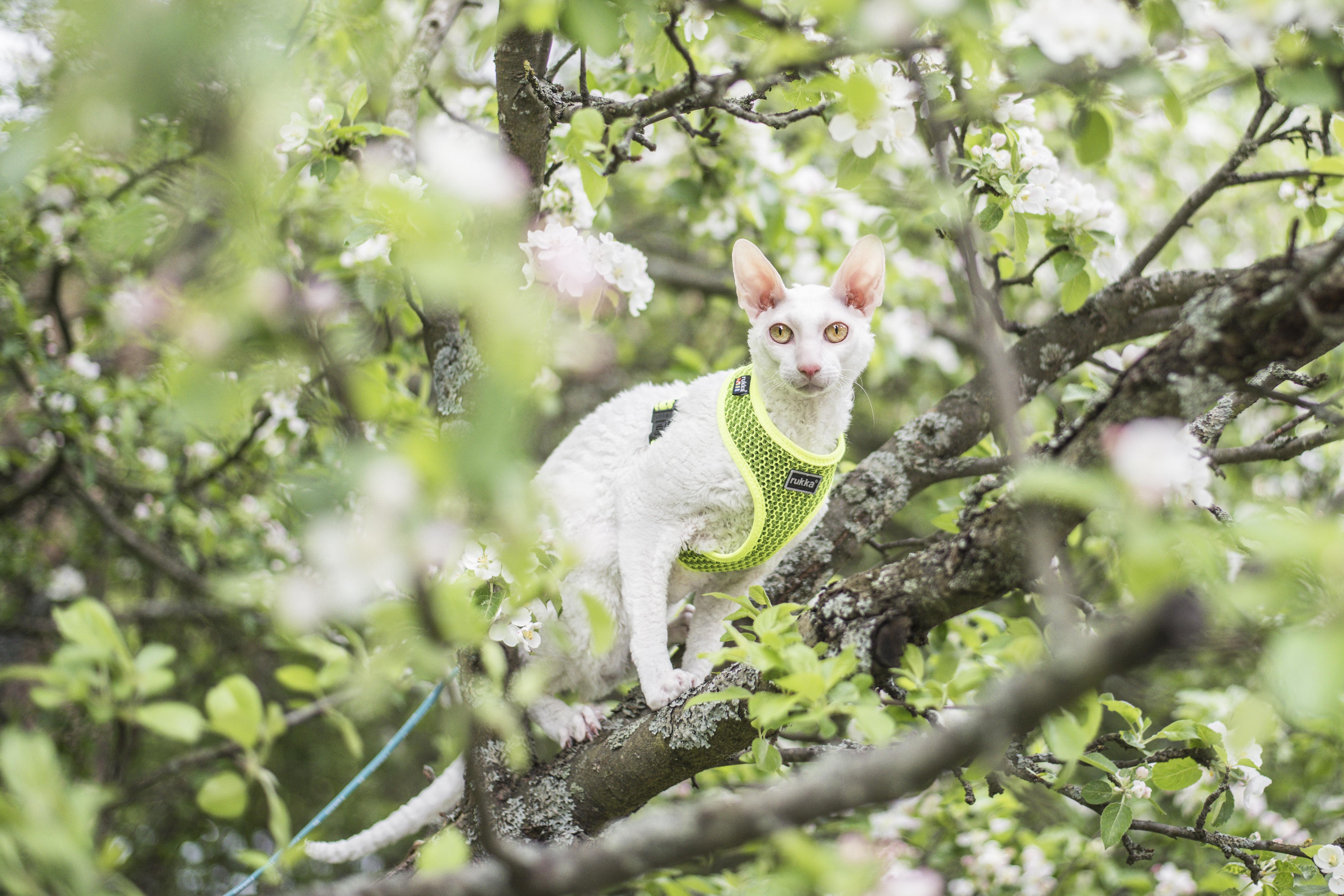 Mäyrä-Kaarlo näyttää mallia, miten kissa ulkoilee. Hihnassa pääsee kurkkaamaan maailmaa vaikka puusta. Kovin korkeaan puuhun kissaa ei silti kannata päästää.