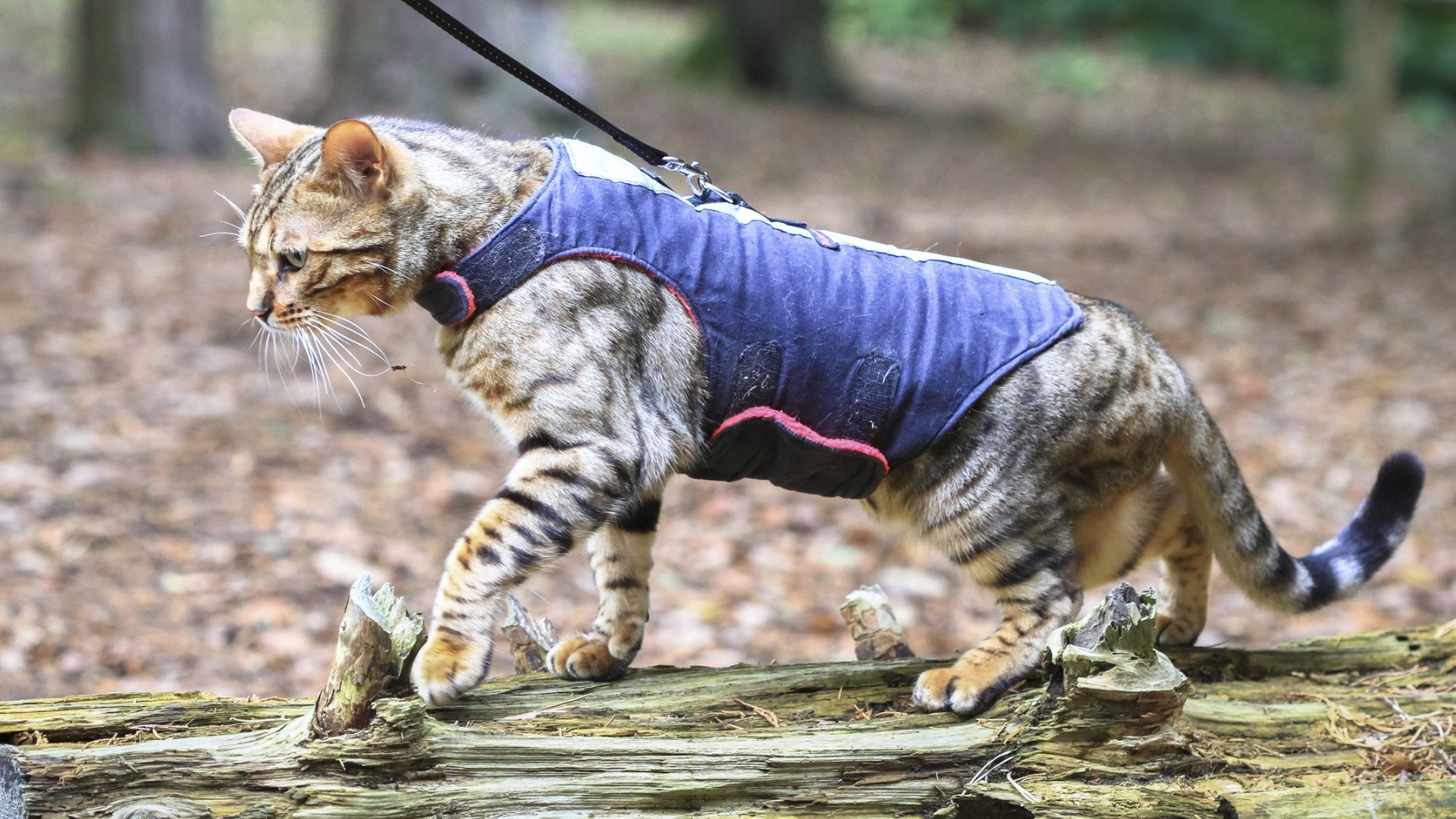Kissojen rakenne vaihtelee, ja valjaat kannattaa valita sen mukaan. Monet nykyaikaiset valjaat ovat leveitä ja hyvin istuvia.