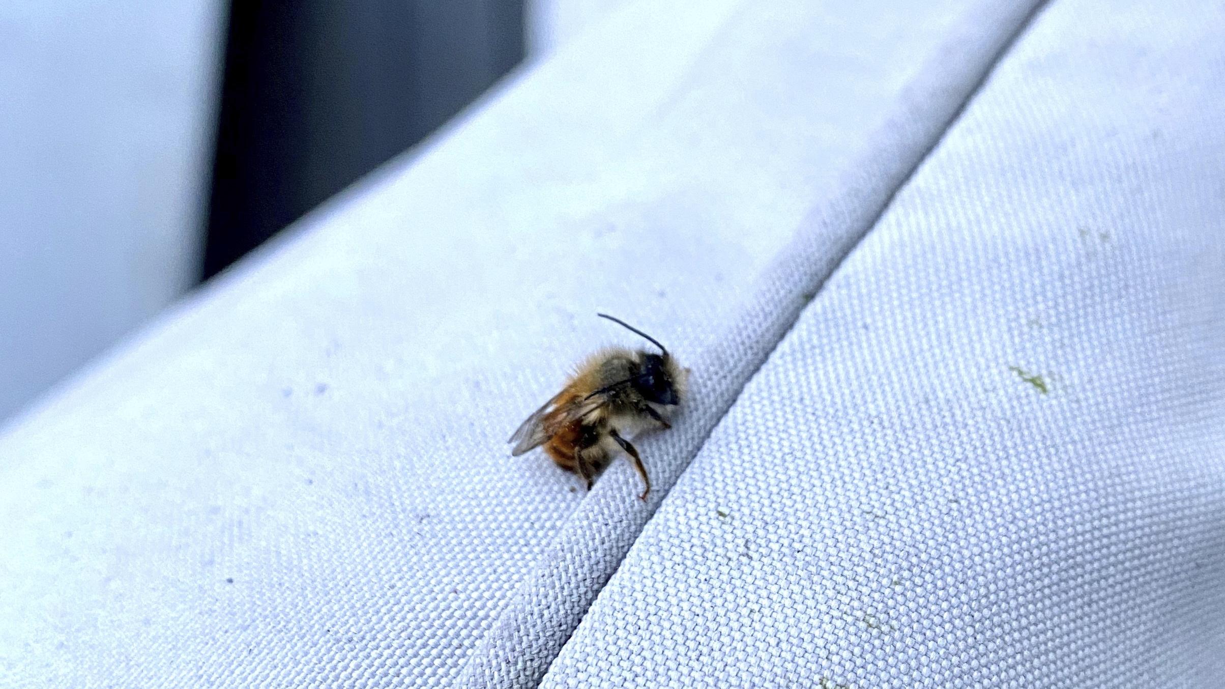 Rusomuurarimehiläinen on superpölyttäjä, joka huolii jälkeläistensä asunnoksi keinopesän.