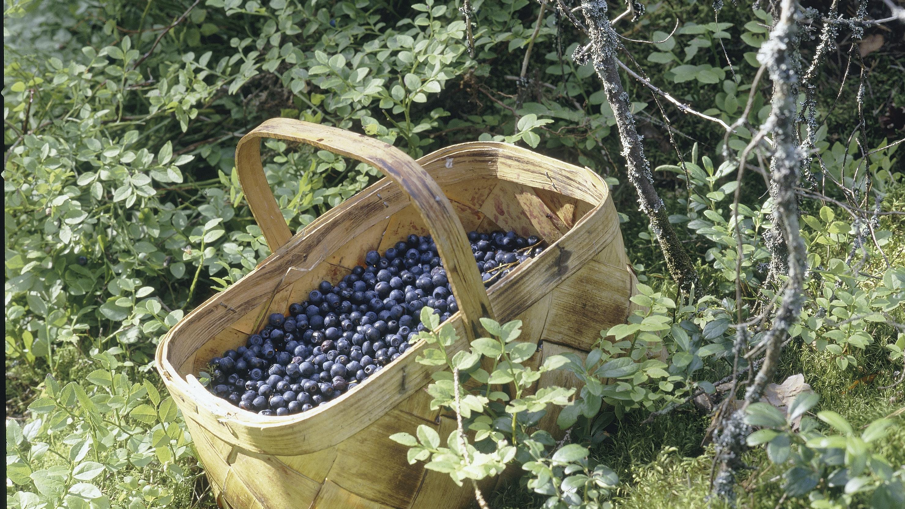 Mustikan tavanomainen pölytystulos on, että runsaat 50 prosenttia kukista kehittyy raakileiksi. Pölyttäjien avulla voidaan saada paljon tätä enemmän marjoja.