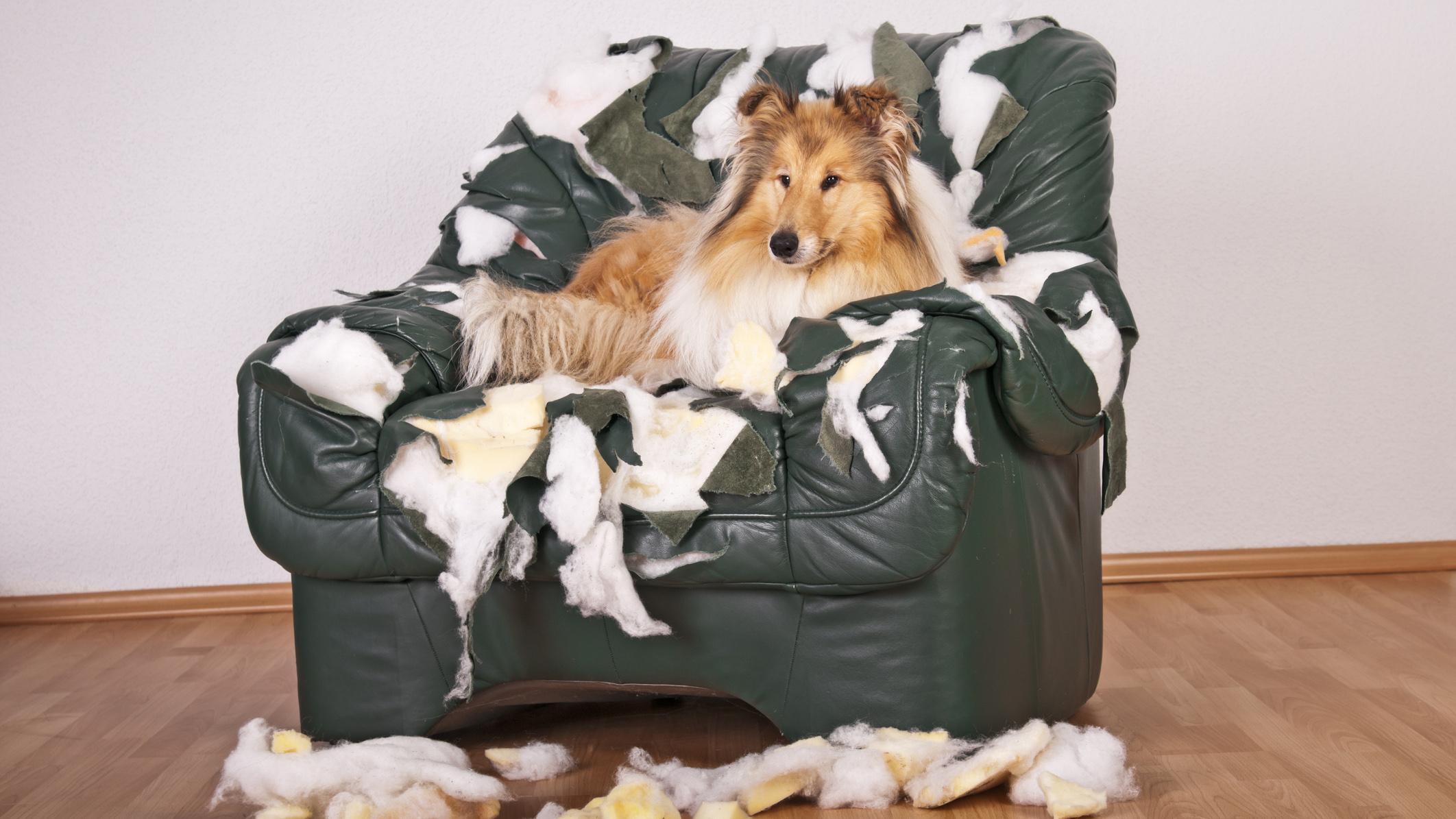 Collie tuhosi sohvan