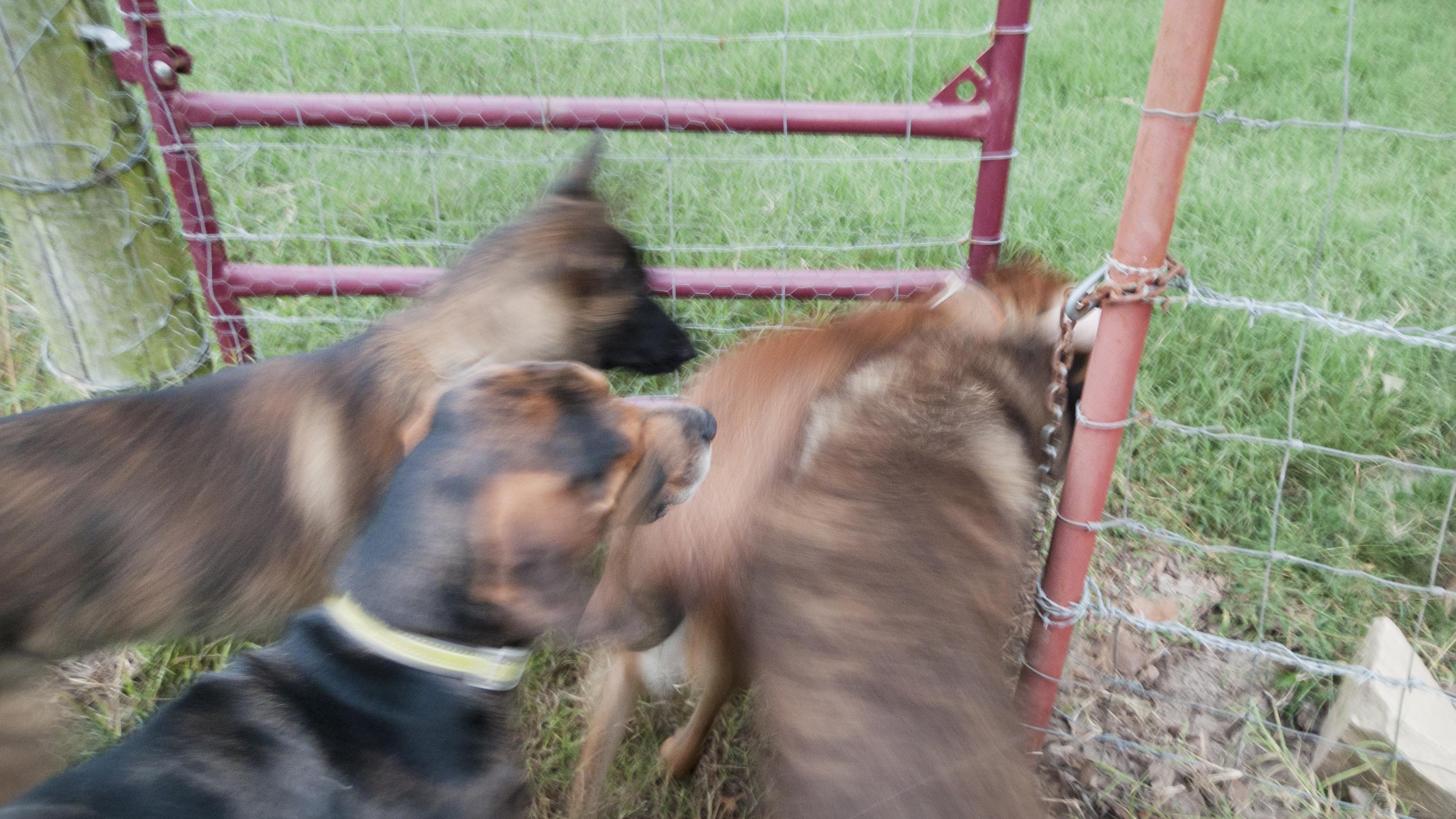 Koirat pakenevat tarhasta.