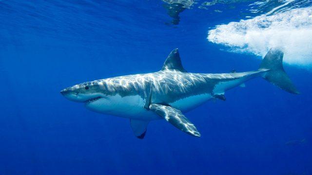 Maailman suurin valkohai: Tutkimusretki Havaijilla.