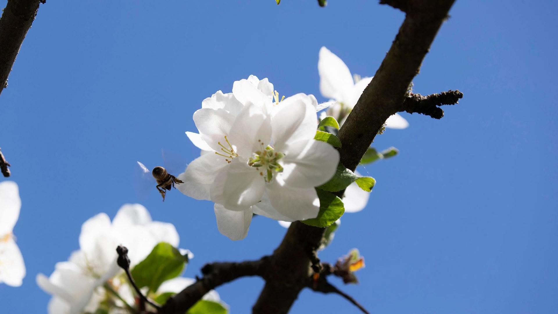 Niemelän pihan omenapuun kukille riitti kesäkuun alussa pölyttäjiä.