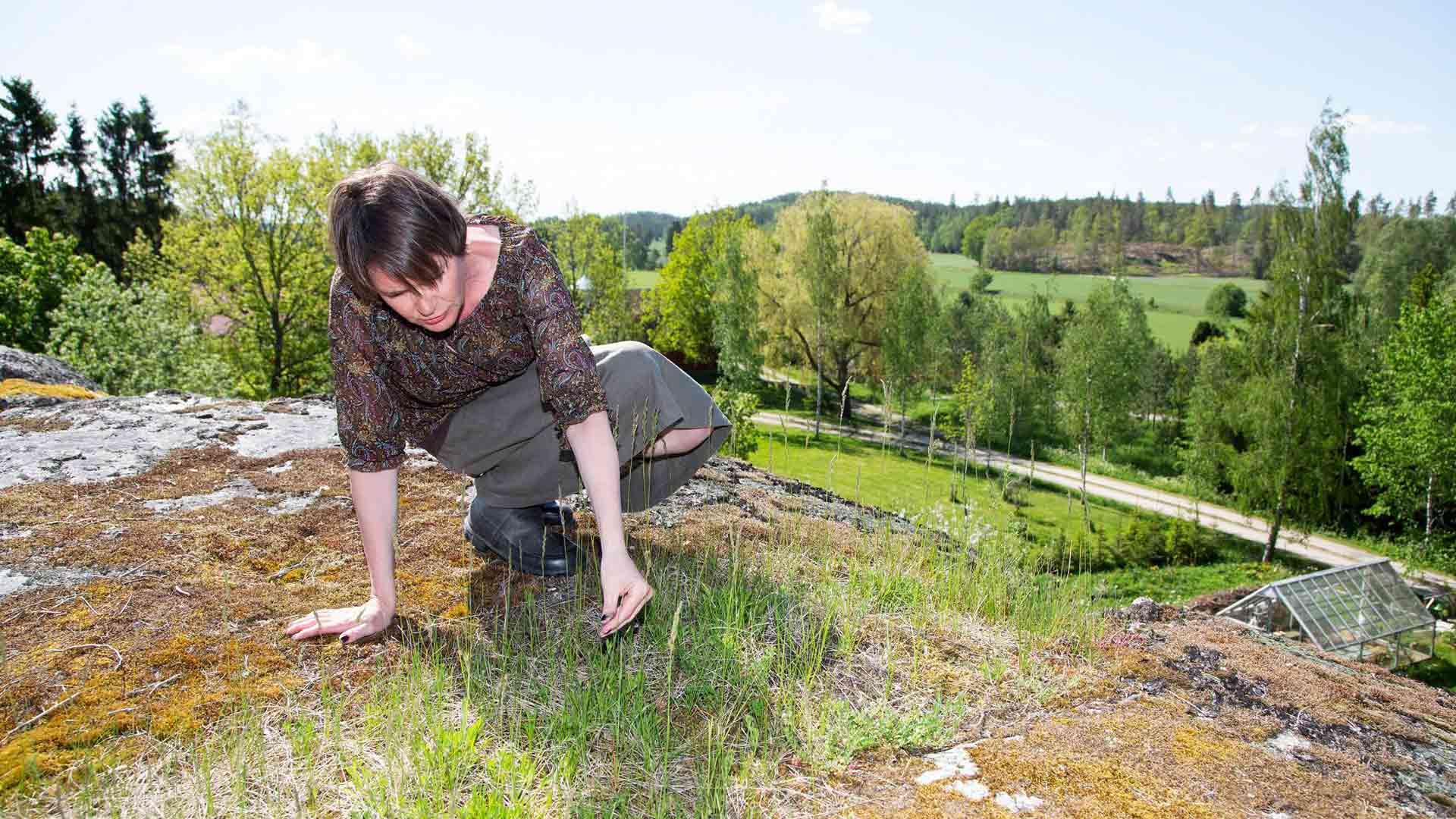 Niemelän mukaan Stenbergan linnavuoren laella kasvavista muinaistulokkaista kuten sikoangervosta voi heti päätellä, että täällä on kauan sitten ollut ihmisasutusta.