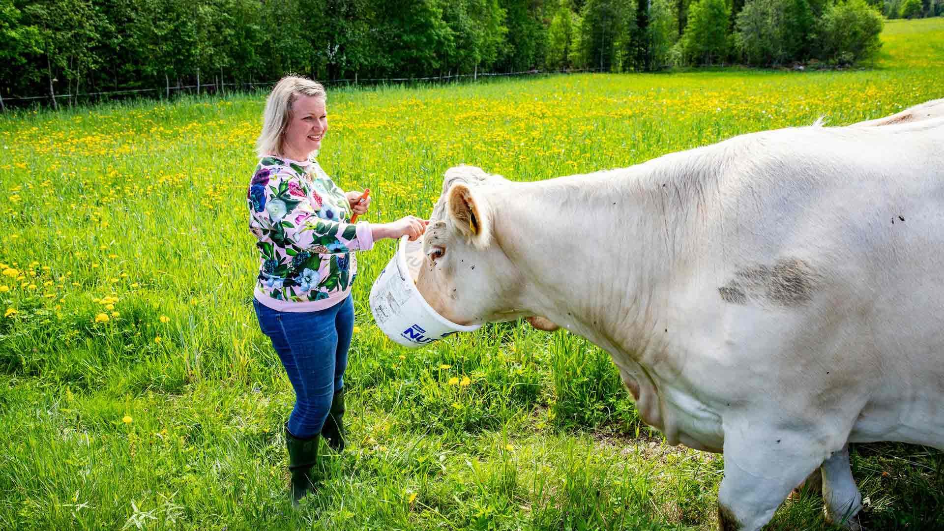 Anna Siiriäinen antaa nurmella laiduntavalle karjalleen silloin tällöin makupalaksi viljaa, joka on niiden herkkua. Tilalla ei käytetä lainkaan ostorehua. Sato menee omien eläinten ravinnoksi.