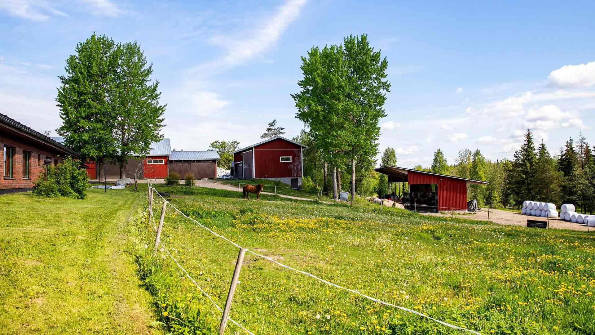 Anna ja Eerik Siiriäinen ovat harjoittaneet viisitoista vuotta luonnonmukaista viljelyä ja karjankasvatusta tilallaan Hirvensalmella.
