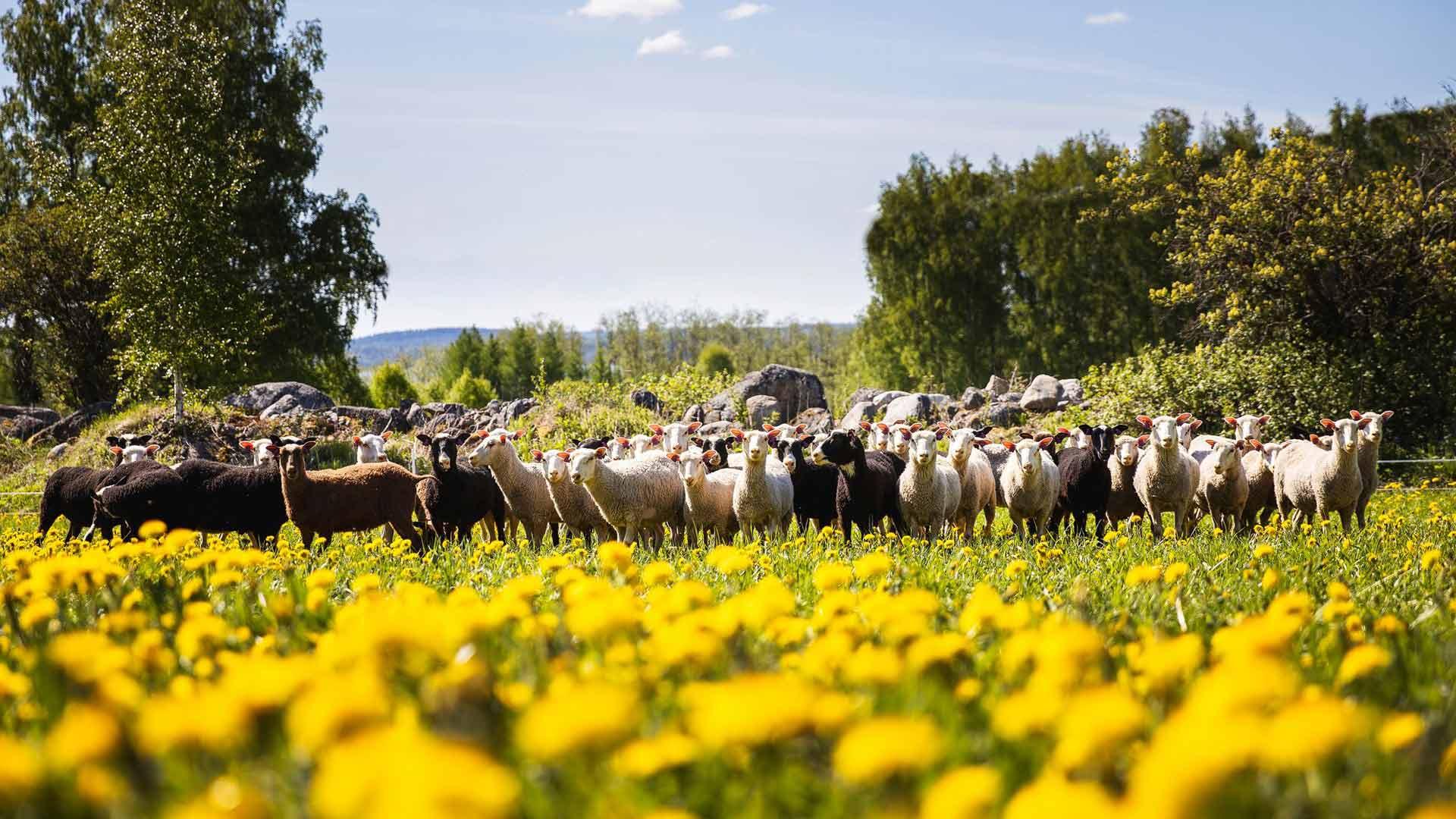 Maisemanhoito on Tiisanmäen lampaiden mieluisa ja hyödyllinen tehtävä. Karvakerät laiduntavat lähinurmien lisäksi myös saarissa.
