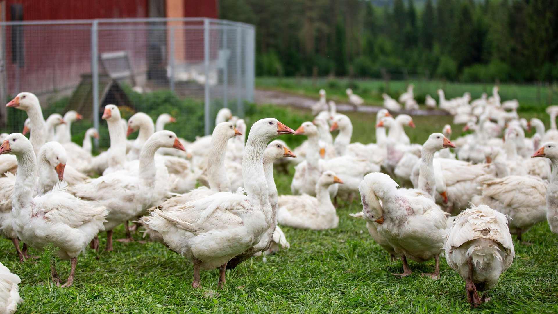 Hauhalan hanhifarmin laitumilla tepsuttaa satapäin hanhia. Kesyhanhet eivät lennä.