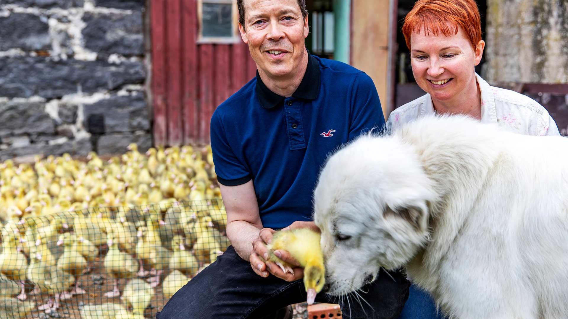 Virpi ja Antti Rantalainen aloittivat hanhien kasvattamisen vuonna 1997. Maremmano-koirat Martta ja Ricco pitävät huolta, ettei peto pääse hipsimään laumaan. Isot koirat ovat myös lintujen helliä ystäviä.