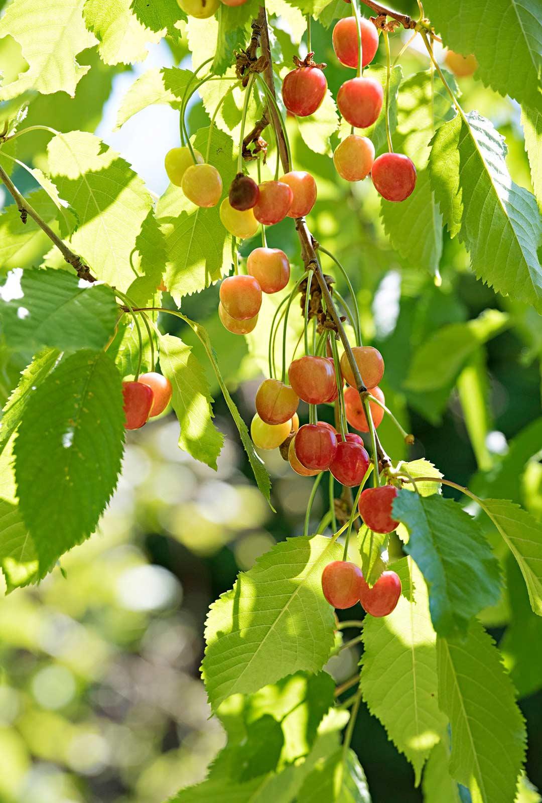 Kirsikkapuun marjoista saa tehtyä ihanaa hilloa ja mehua.