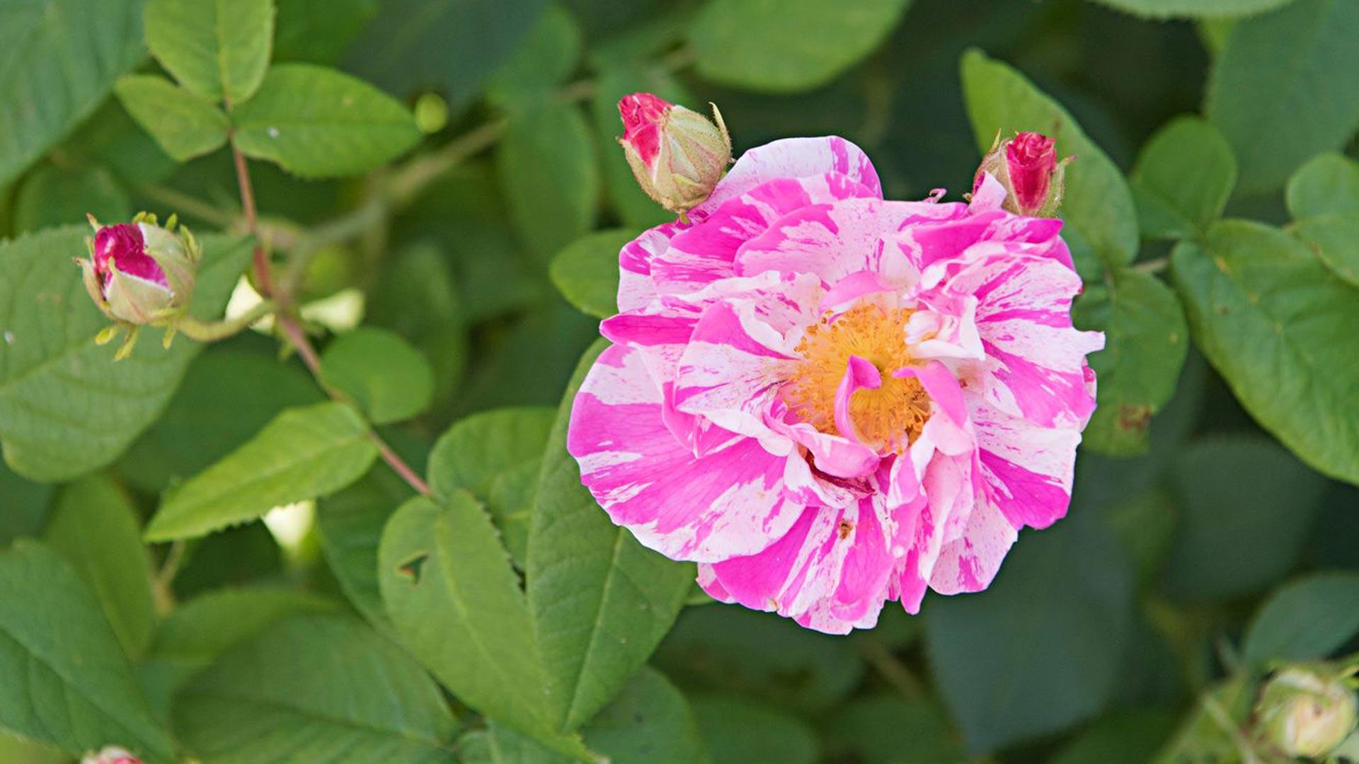 Ruusut tuovat kukinnallaan tunteen kesän tulon ihanasta odotuksesta.