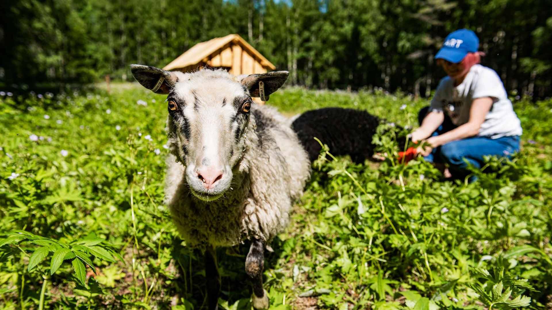 Kesälampaat pärjäävät niittotöissään itsenäisesti, mutta niitä saa myös hoitaa ja helliä.