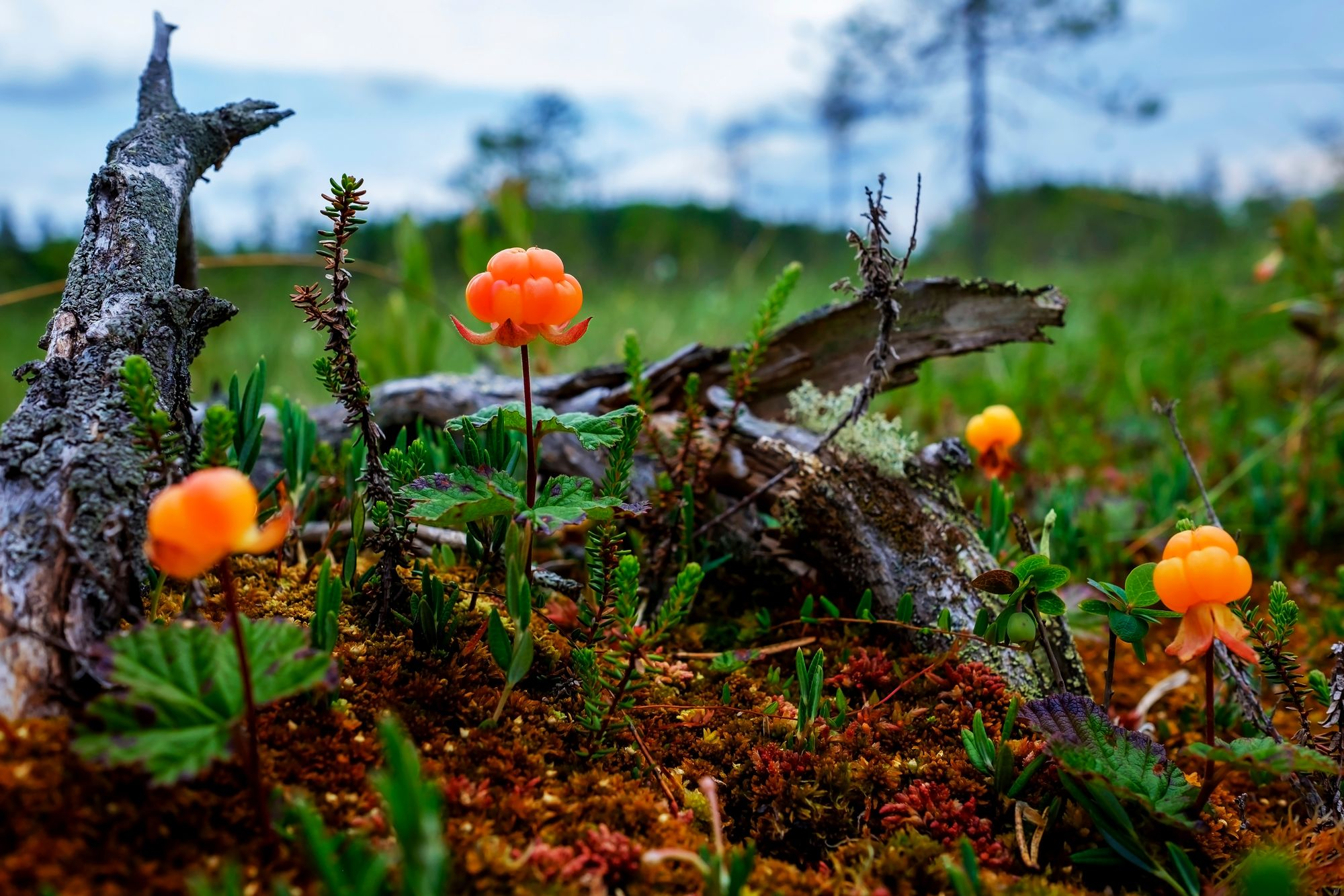 Ripe cloudberry grows on a swamp in Russia. Healthy food in wood Kuva: OM-arkisto