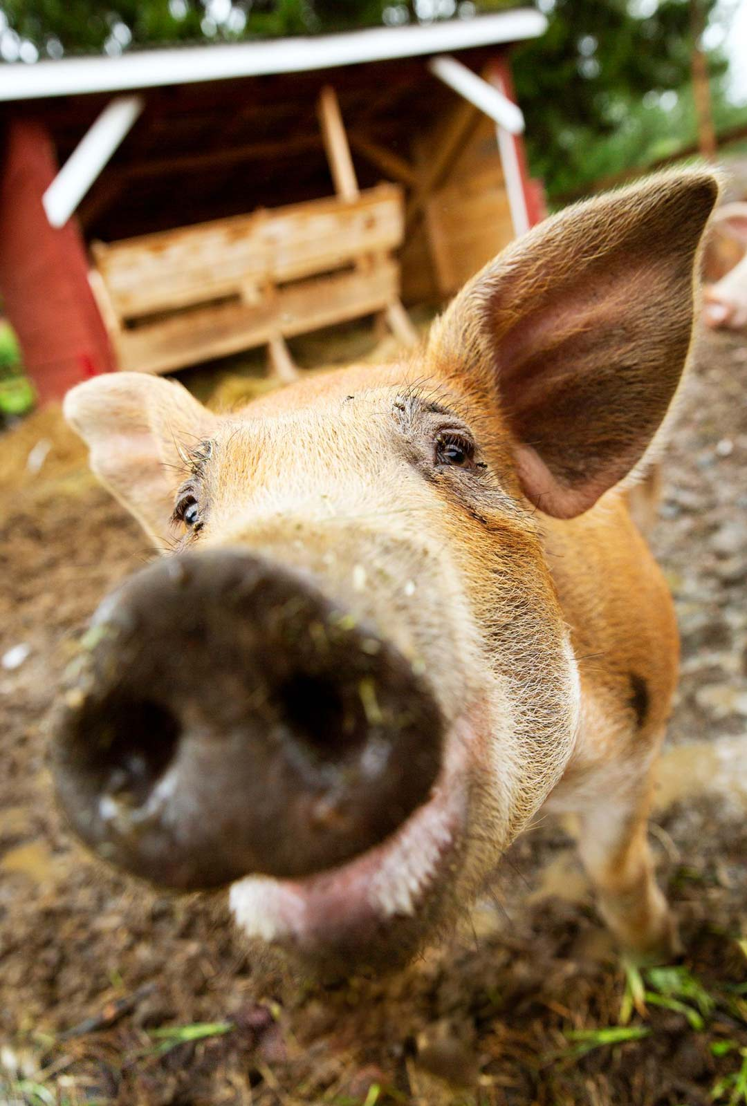 Aki Samulin maatilan eläimet on nimetty tangokuninkaallisten mukaan. Vaalea Jaska-sika ja tummempi Jari (kuvassa) liittyivät yli 30 eläimen joukkoon keväällä.