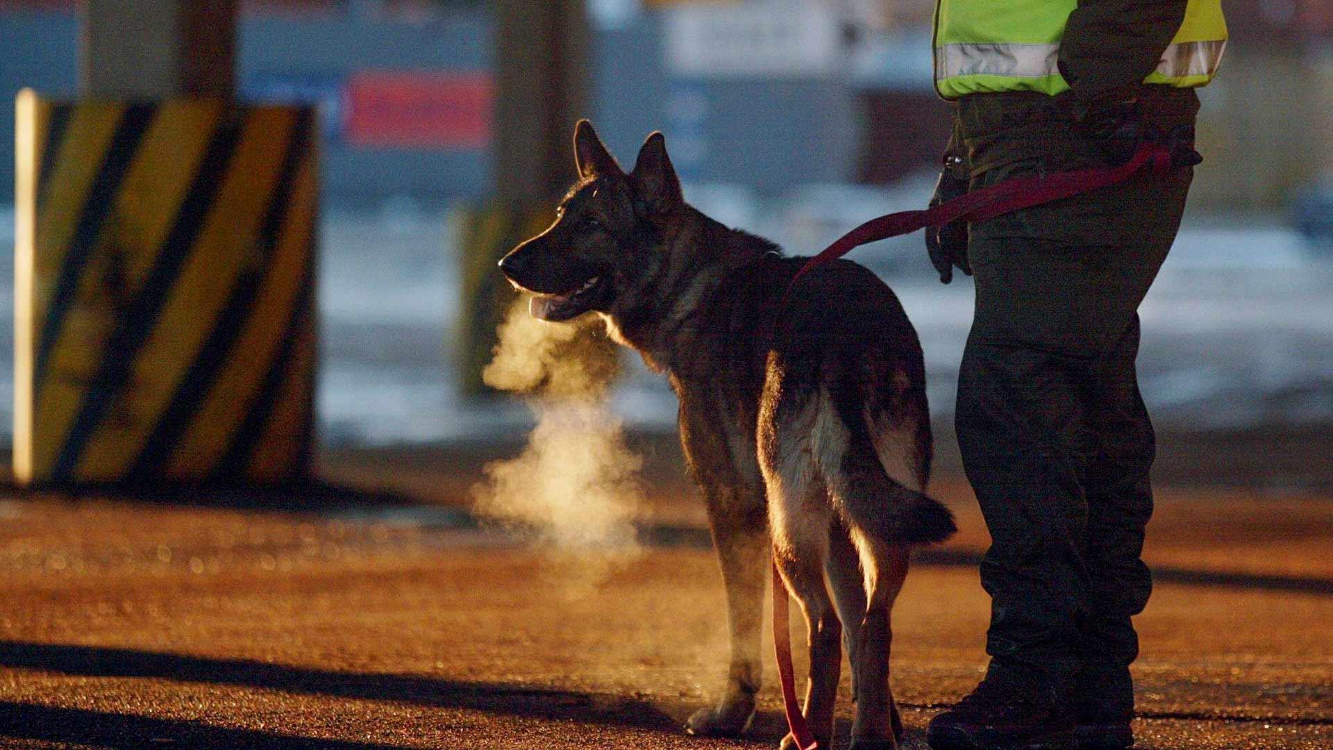 Nino-koira työssään Rajavartiolaitoksen rajakoirien harjoituksessa Helsingin Länsisatamassa vuonna 2002.