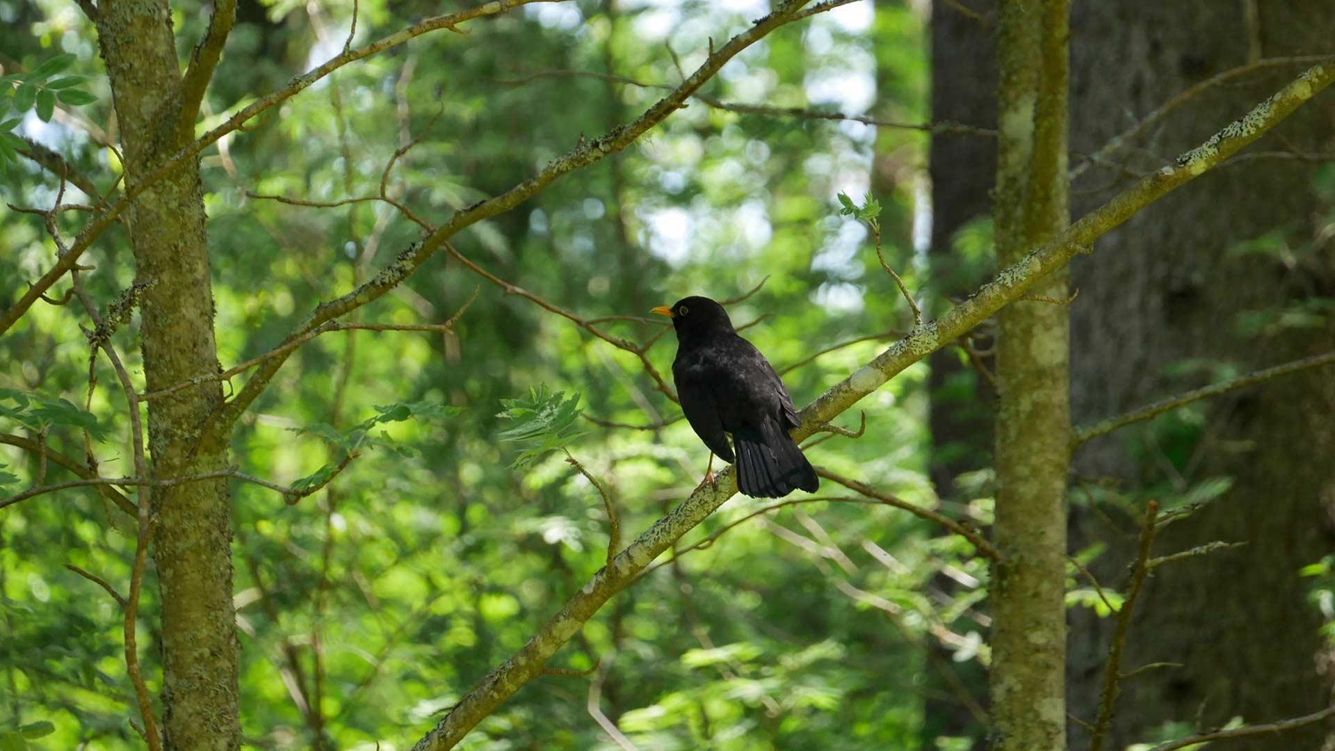 Mustarastas, metsän taitava solisti.